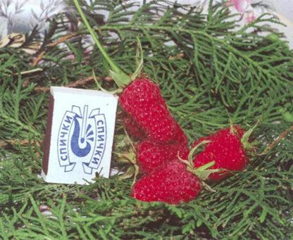 Гигант рубиновый