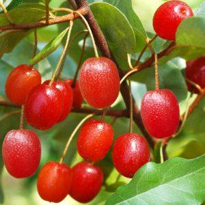 Лох серебристый плоды съедобны
