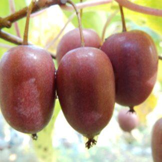 purpurna sadowa